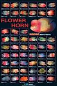 Flowerhorn Poster