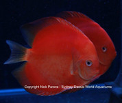 Solid Red Discus 13-14 cm Pair