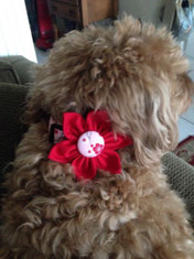 "Cherry Blossom Red Chasin' Tail Flower  Chasin' Tail Doggie Designs are special handmade creations.  Each piece is made by hand, with care, in Boring Oregon.  Chasin' Tail Flowers are fun and attractive collar accessories.  These Flowers are available in 3 sizes and attached to your Chasin' Tail collar or any other collar with hook and loop attachments.  Flowers are made from a washable fabric.  Gently wash and hang to dry.  Chasin' Tail dog collar Flower accesories can be ironed with a cool iron to remove wrinkles if they should appear.  Chasin' Tail Flowers come in the following sizes,  SM - measures approx. 2"" across  Med - measures 2 1/2"" across  LG - measures 3"" across   Chasin' Tail also offers matching handmade leashes, collars, and other accessories like Bow Ties to dress up any collar.  Look for them to order and complete your pet's special look."
