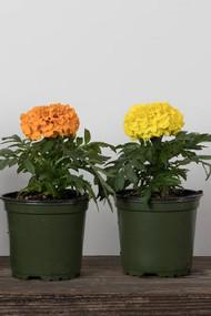 "Annual Marigold 4"""