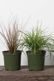 """Annual Ornamental Grasses 4"""""""