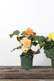 "Annual Begonia Solenia 4"""