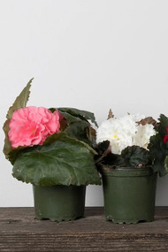 "Annual Begonia Nonstop 4"""