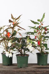 "Annual Begonia Boliviensis 4"""