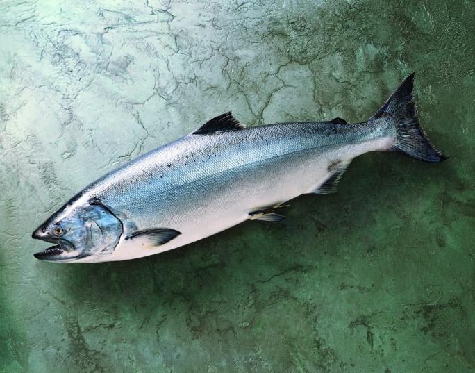 Fresh King Salmon Wholesale