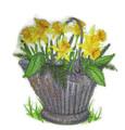 Pretty Pail Daffodil