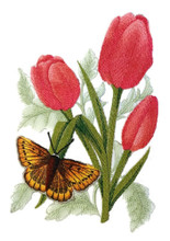 Large Copper Butterfly and Tulips