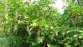 American Pokeweed Poke Seeds