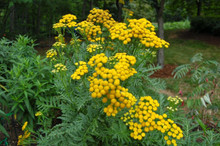 Tansy Seeds