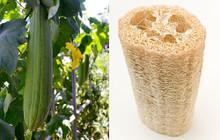 Luffa Sponge Gourd seeds