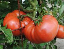 Granny Chantrell's German Tomato Seeds