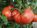 Granny Chantrell's German Tomato Seeds