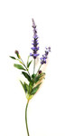 Lavender Spray with 3 Flowers and Buds