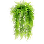 Hanging Asparagus Fern with 298 Leaves