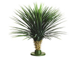2 1/2 Foot California Whipple Yucca on Base