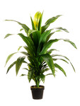 3 1/2-Foot Dracaena Fragans Plant, in Container