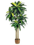 6-Foot Dracaena Plant in Basket