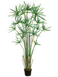 5-Foot Cypress Grass Tree - Potted