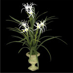 Spider Lily Plant with 40 Leaves