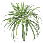 Spider Plant x 7 with 56 Leaves