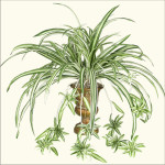 Spider Plant x 9 with 72 Leaves