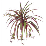 Spider plant bush x 9 with 60 Leaves