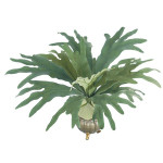 Staghorn Fern Bush with 16 Leaves