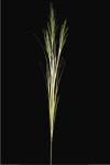 Papyrus Grass x 3