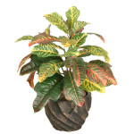 Croton Leaf Bush x 3 with 35 Leaves