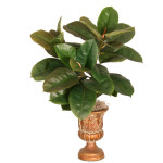Rubber Leaf Bush x 3 with 35 Leaves