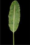 Large Banana Leaf