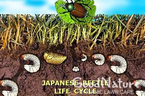 clp-japanese-beetle-md.jpg