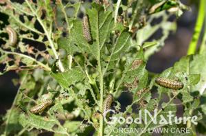clp-viburnum-leaf-beetle-md.jpg