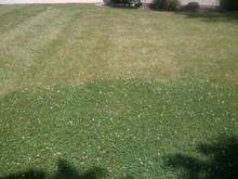 Microclover in a lawn