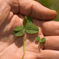 Microclover next to traditional White Clover