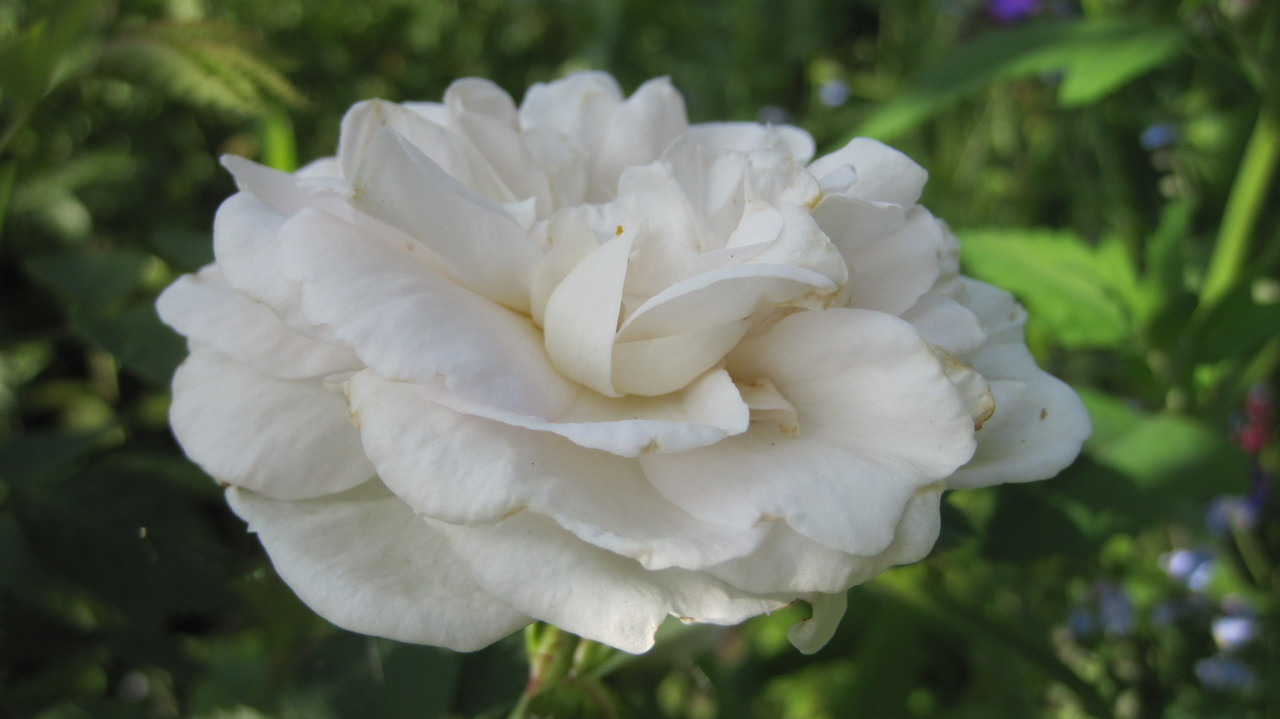 Rose Alba Flower Essence