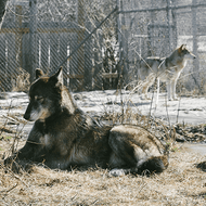What Exactly Is a Wolf Sanctuary? The Mountain Takes a Trip to Find Out.