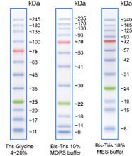 Protein Ladder