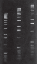 Agarose LE gel in 1X TAE buffer  From Right to Left Lane 1 -0.75 % Lane 2 -1 % Lane 3 -1.25 %  Marker: 1 Kb Ladder.