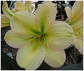Green Throat Tipperary Peach X Huge Flowered Blushed GT Tipperary Peach Clivia Seedling Plant