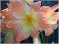 Big Pink Flowers! Pink & White X (Werns Special X Cotton Candy) Clivia Seedling Plant