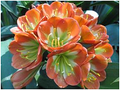 Copper  Cup II X Picotee Clivia Seedling Plant