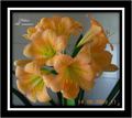 Hilton All Seasons X Clarissa Clivia Seedling Plant
