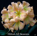 All Seasons X East Meets West No 1 Clivia Seed