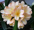 Clarissa X East Meets West Clivia Seed