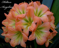 (Blushing Bride X New Dimension) X Angelica Clivia Seed