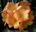 Salmon Queen X East Meets West #1  Clivia Seed