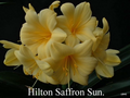 Saffron Sun X Self Recurve Butter Yellow! Clivia Seed