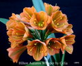 Rare Autumn Whisper Interspecific X Sibling  Clivia Seed