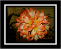 Hilton Giant Flowered Lukes Special 6 Leaf Clivia Offset